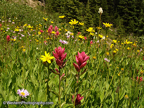 Wildflowers including Indian Paintbrush.